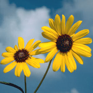 wild_native_sunflower.jpg